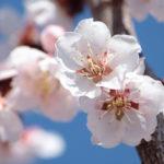 【試聴】梅の季節に吟じたい詩吟「寒梅」