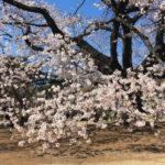 【試聴】桜の季節に吟じたい詩吟「ひさかたの」